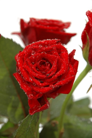 Water drops and roses