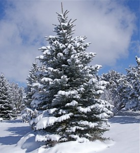 blue-spruce-1