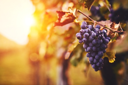 Fine Merlot Grapes