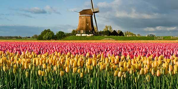 Tulip Wax Melt Review