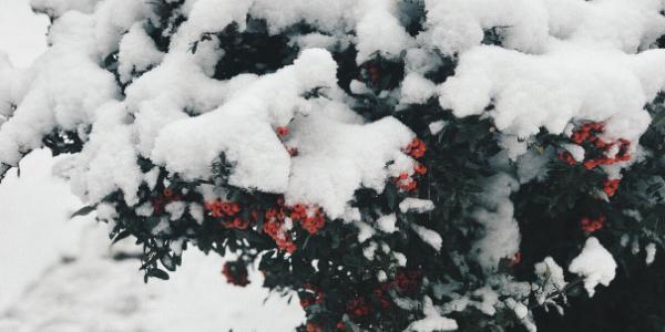 Mistletoe Bush Covered in Snow