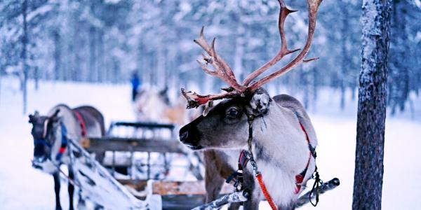 reindeer pulling sleigh in winter snow