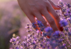 hand running through lavender fields