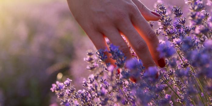 hand running through lavender fields
