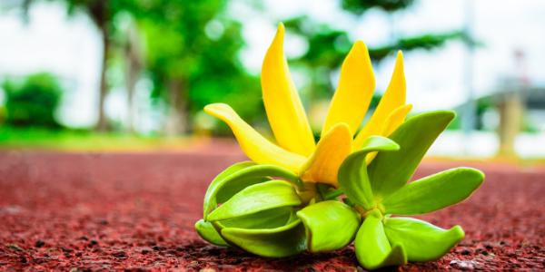 closeup of ylang ylang flower