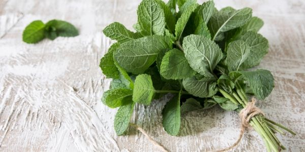 peppermint plant