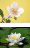 Jasmine-waterlily